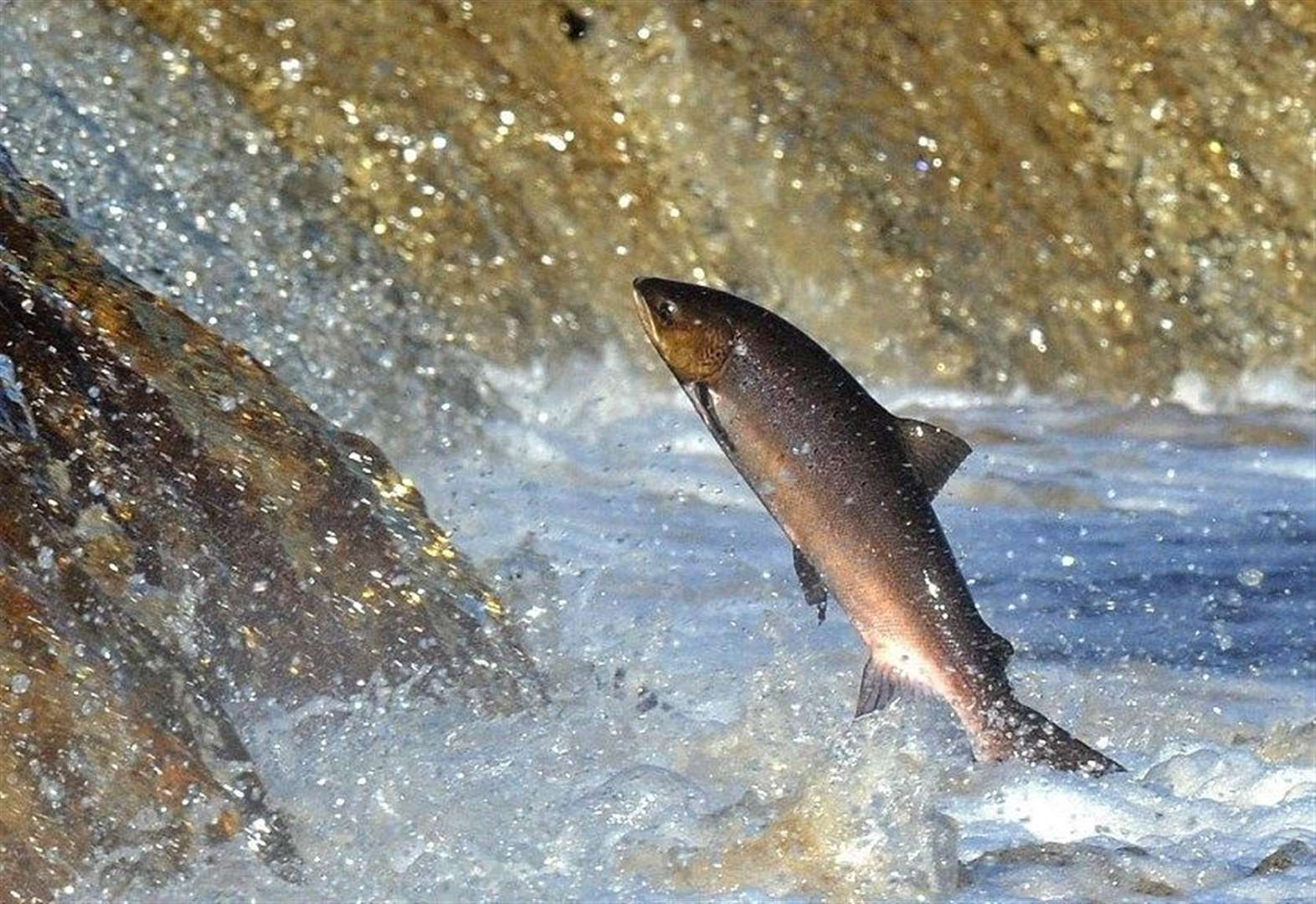 Auction bidding to save salmon