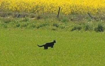 Picture: Eric Cormack. Image No. 043958. Big Cat Spotted In A Field At Alves . Picture Taken From THe Old Cemetery Looking Towards The A 96.